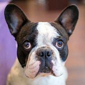 image of french bulldog puppy  - French bulldog portrait  - JPG