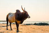 pic of sea cow  - Bull with sharp horns on the beach near the sea - JPG
