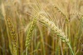 Golden Wheat Spikelets