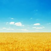 yellow field with ripe harvest and deep blue sky with clouds over it