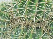 image of mother law  - Mother in laws cushion or Golden ball barrel cactus (echinocavtus grusonii) on Fuerteventura one of the Canarian islands in the Atlantic Ocean belonging to Spain