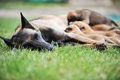 picture of belgian shepherd  - female dog of belgian shepherds malinois with puppies - JPG