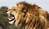 foto of male face  - a  male lion making a angry face - JPG