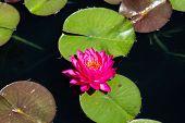 Purple Lilly In Dark Pond