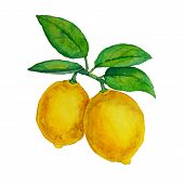 picture of tree leaves  - Watercolor lemons hanging on branch with green leaves - JPG