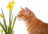 Orange Domestic Cat And Daffodils