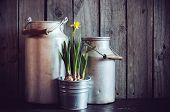 foto of farmhouse  - Two vintage aluminum cans and blooming narcissus in metal plant pot on a wooden boards background rustic farmhouse gardening - JPG