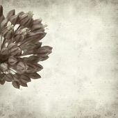 picture of leek  - textured old paper background with wild leek flowers - JPG