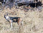 image of jackal  - Ngorongoro Natoional Park a jackal on alert Tanzania - JPG
