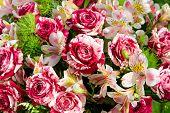 picture of rose close up  - Close - JPG