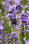 image of lavender plant  - Lavender in bloom with bee close up of scented plant with insect - JPG