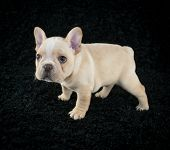 foto of french bulldog puppy  - Sweet little French Bulldog puppy standing on a black background with a sad or curious look on his face - JPG