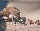 pic of female peacock  - Two Peachicks and Peahen - JPG
