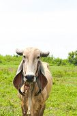 picture of long tongue  - long ear cow eating grass with tongue in the field - JPG