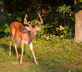 image of black tail deer  - Whitetail deer with tall antlers still covered in velvet  - JPG