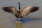 pic of spread wings  - The beautiful cackling goose spreads his wings - JPG