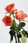 stock photo of neutral  - three pink roses with green leaves on a neutral background - JPG