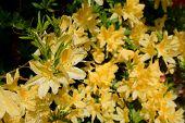 stock photo of azalea  - A ot of Azalea yellow flowers close up  - JPG