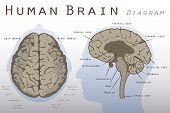 foto of right brain  - Illustration of a Brown Human Brain Diagram - JPG