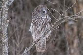 image of snow owl  - A lone Great Grey Owl in winter - JPG