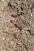 stock photo of green bean  - Green bean seeds at planting time - JPG