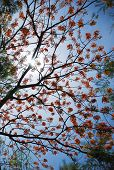 picture of royal botanic gardens  - royal poinciana in blue sky bright background - JPG