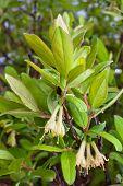 pic of honeysuckle  - leaves and flowers of honeysuckles  - JPG