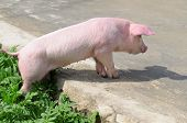 image of baby pig  - ? domestic funny pig on the road - JPG