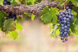 stock photo of grape  - Close - JPG