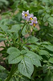 stock photo of solanum tuberosum  - Potato plant blooming in the garden - JPG