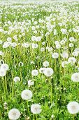 Field with fluffy dandelions poster