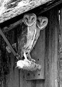 Barn_Owls_Bw