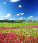 Meadow with wild pink flowers under blue sky with clouds