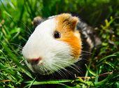 Cavy sitting in green grass. Focus on eye