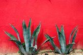 Agave Cactus