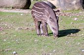 stock photo of tapir  - Striped tapir baby eats leaves of tree - JPG