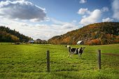 Cows grazing on  pasture in early fall