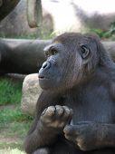 Female Gorilla Curious