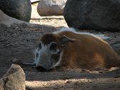 Warthog Resting