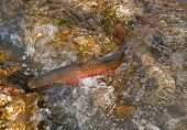 Lahontan Cutthroat Trout Fish Spawning In Creek