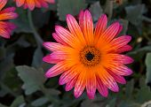 Close Up Of An African Daisy, Single Bloom, Gazania Rigens Rare Sun Flower Bonsai Plant, Native To A poster