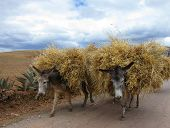 picture of jack-ass  - Domestic donkeys in Sacred Valley - JPG