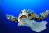 Plastic pollution in ocean environmental problem. Turtles can eat plastic bags mistaking them for je poster