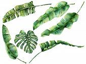 Watercolor Set With Juicy Tropical Tree Leaves. Hand Painted Monstera, Banana And Palm Greenery Exot poster