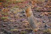 Evrazhka On Kamchatka. Rodent, American Long Tail Gopher, Sunny Day poster