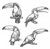 Toucan Sketch Set With Tropical Bird In Different Positions. American Forest Toco Toucan Bird Sittin poster