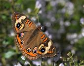 October Buckeye Butterfly