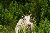 Asian Lineage Cow In Tropical Field