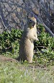 Californian Ground Squirrel Closeup