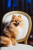 Cute Pomeranian Dog With Red Hair Like A Fox Resting On The Chair. Spitz Dog After Shearing View poster